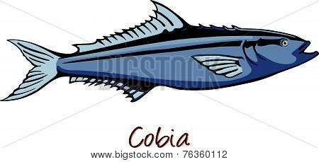 Cobia, Color Illustration