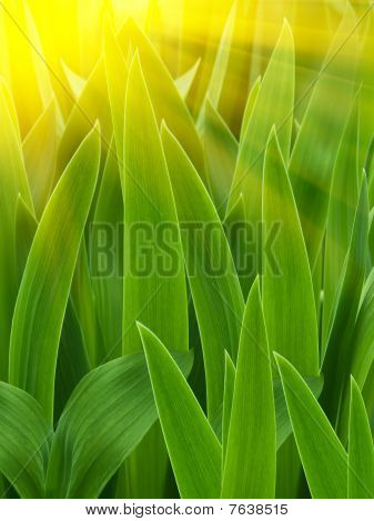 Leaves  Flower  Gladiolus  Sunrise