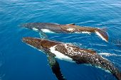 Couple of humpback whales in the ocean poster