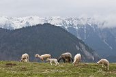 sheep to graze on a green pasture near a mountain poster
