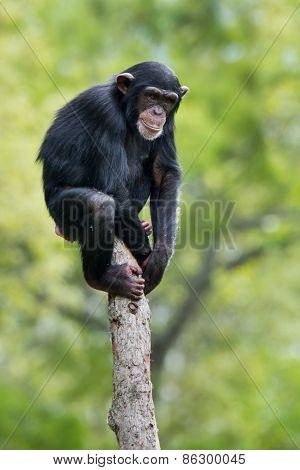Chimpanzee XI
