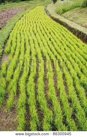Green rice seedlings in Bali rice fields, Bali, Indonesia