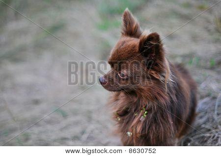 brown chihua-hua close up
