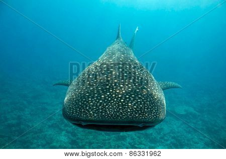 Whale Shark Approaching