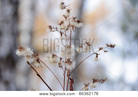 Forest Plant With Pappus
