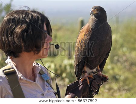 A Harris's Hawk On A Zoo Docent's Glove