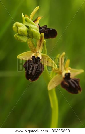 Wild Early Spider Orchid (Oprhys incubacea aka Ophrys sphegodes subsp. atrata). Flowers' stem. Portugal. poster