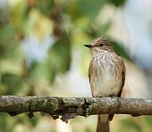 A Spotted Flycatcher (Muscicapa striata) perching on a tree branch. poster