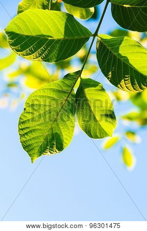 natural background - backlighting green leaves of walnut tree and blue sky in summer poster