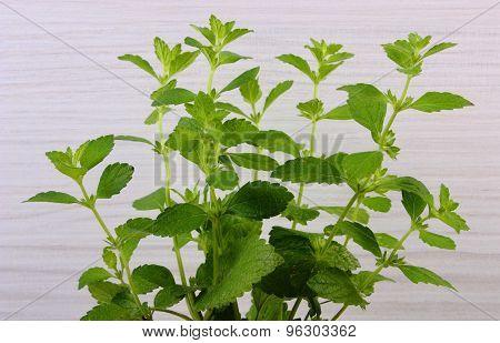 Fresh Healthy Lemon Balm, Wooden Background, Herbalism