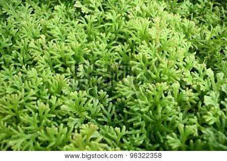 Green fern background  - Selaginella involvens (Sw.) Spring.