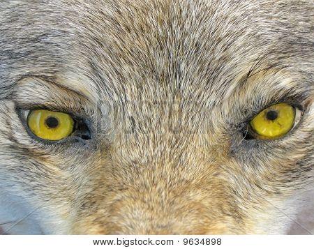Yellow Wolf Eyes, Wild Animal Nature