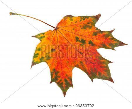 Multicolor Autumn Maple-leaf