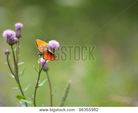 Scarce Copper (lycaena Virgaureae) Butterfly Male And Female