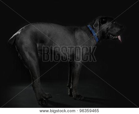 Cane corso italiano dog on black background