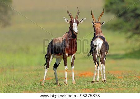 A pair of bontebok antelopes (Damaliscus pygargus dorcas), South Africa