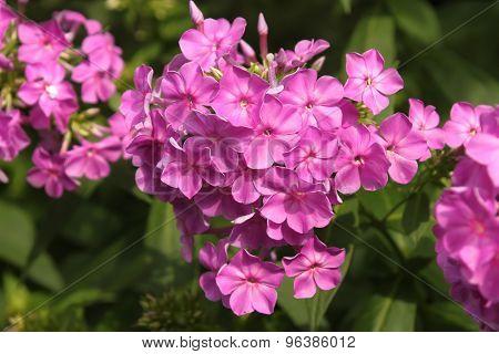 Purple Phlox Blooming In Flowerbed