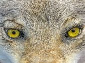 focus on center. yellow wolf eyes. dangerous wild animal nature concept poster