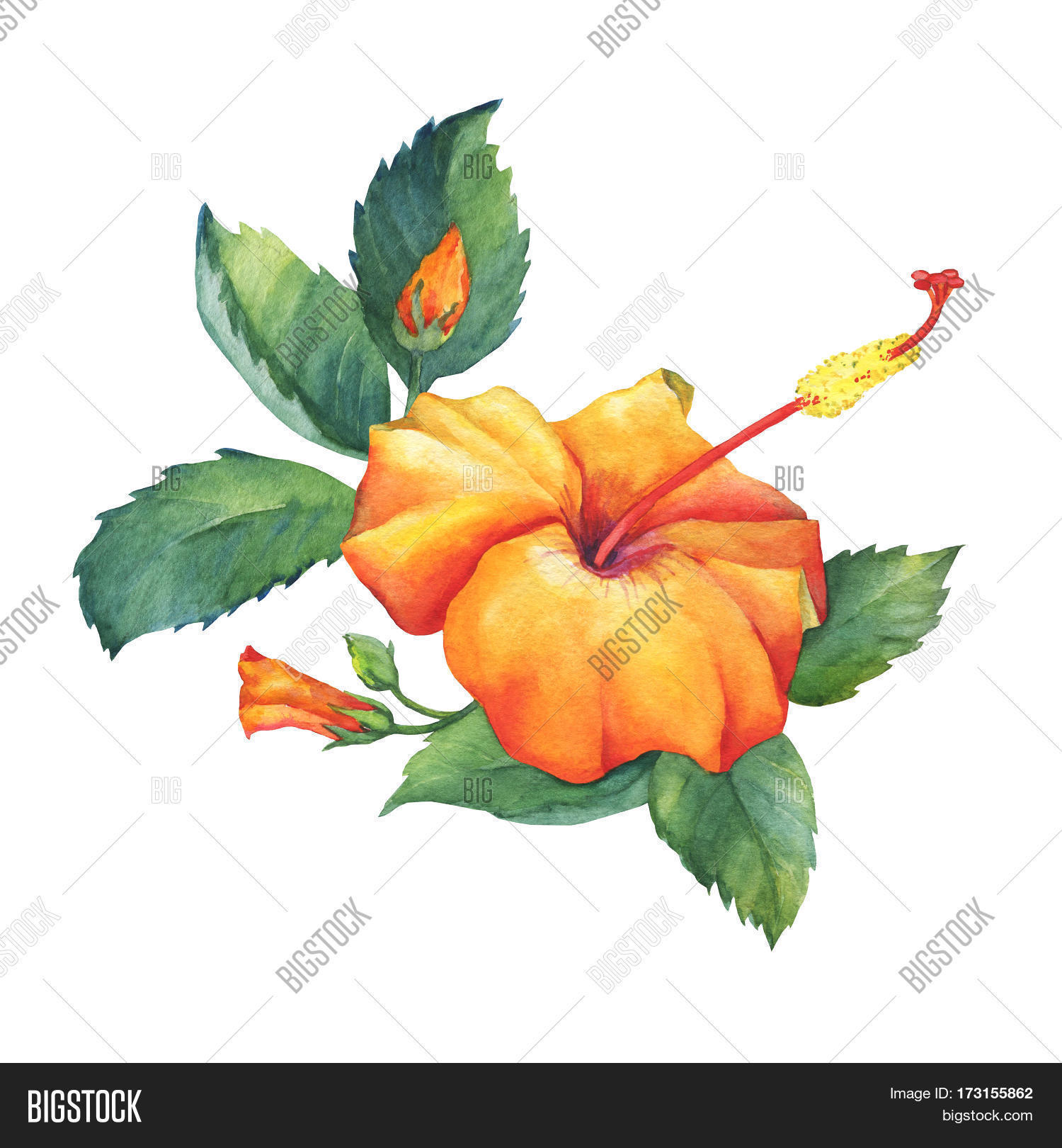 Orange Hibiscus Flower Image Photo Free Trial Bigstock