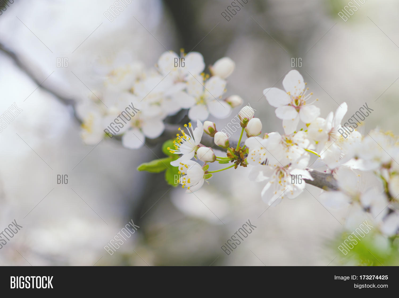 Spring Branch Tree Image Photo Free Trial Bigstock