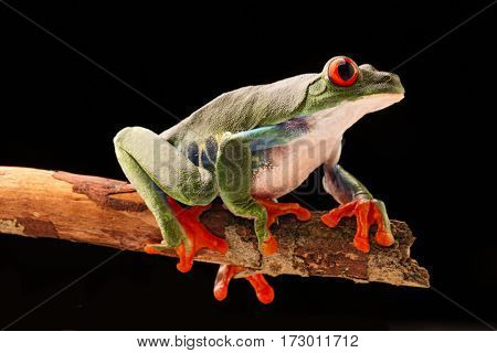 Red eyed tree frog at night on a twig in the rain forest. Agalychnis callydrias