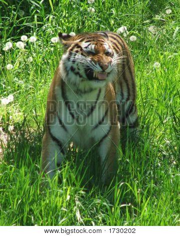 Smiling Amur Tiger