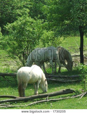 3 American Cream Draft Horses