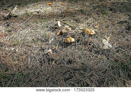 Mushroom at a pine bark and twigs