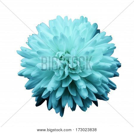 Turquoise flower chrysanthemum. garden flower. white isolated background with clipping path. Closeup. no shadows. Nature.