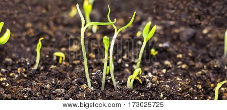 The green shoots of the seedlings emerge from the soil