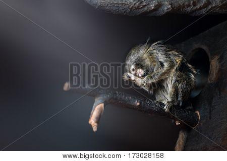 Cotton-top tamarin little monkeys in the zoo