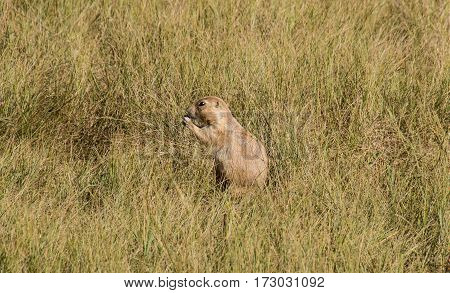 A prairie dog eating in a field.