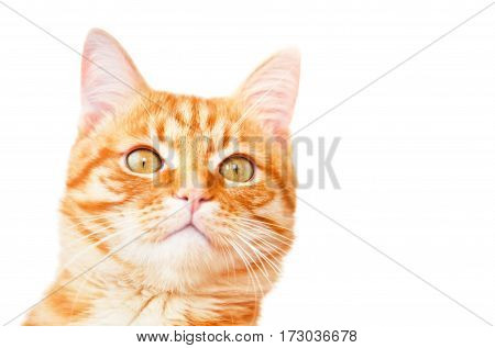 Red cat attentively looks isolated on white background close up.