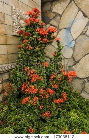 orange flower plant with green leaves in a corner of a landscape with natural stone textured wall photo taken in Depok Indonesia java
