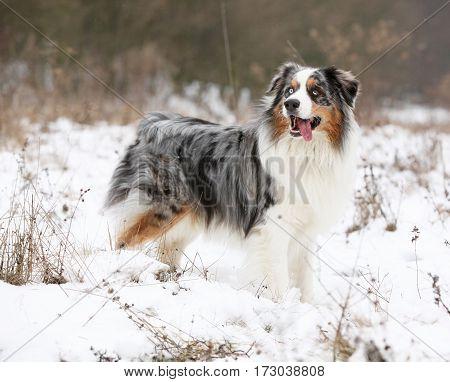 Amazing Australian Shepherd In Winter