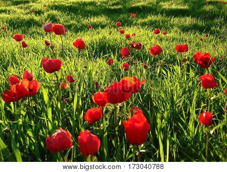 Red Anemones Field Winter Blooming Macro Shot In Green Grass Field, Beeri Forest, Southern District
