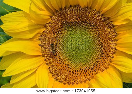 Natural background - sunflower closeup picture with bee visiting it for nectarous lunch.