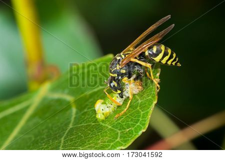 Predator's meal in secluded nook - big wasp eating caterpillar delicatessen.