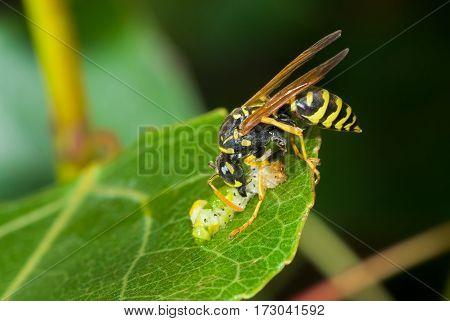 Predator's meal in secluded nook - big wasp eating caterpillar delicatessen.