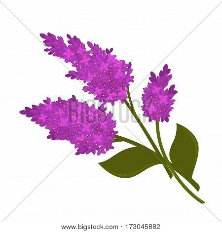 Violet lilac flower branches isolated on white. Vector illustration in flat design of lilac blooming bouquet with green stems and leaves. Botanic concept with picture of lilac with nice aroma