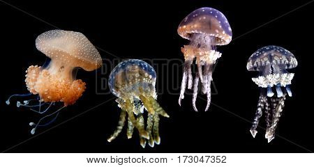 Rhizostomeae jellyfish Species with eight highly branched oral arms