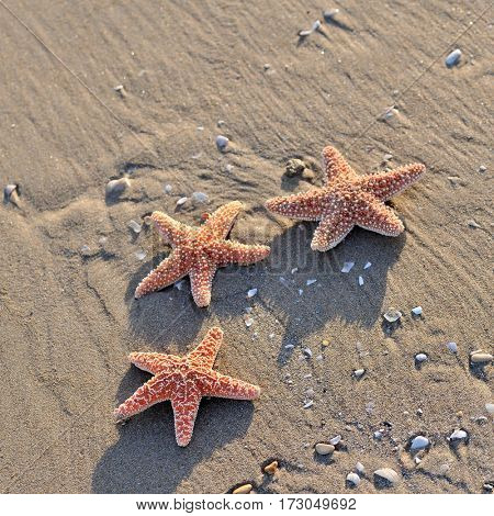 starfishes on wet sand in summer