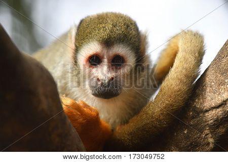 Squirrel monkey sitting on branch