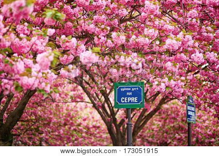 Parisian Street Sign And Cherry Blossom