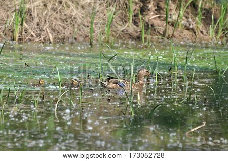 Mallard duck with chicks swimming through swamp