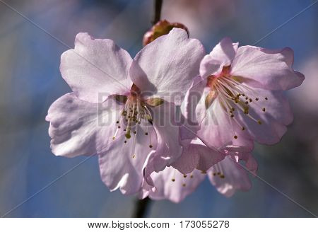 Sakura branch with flowers against blue sky