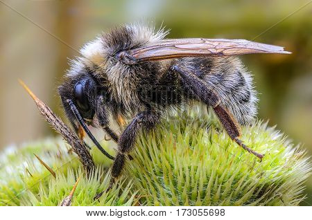 Shaggy bumblebee settled down for the night on the green and spicy plants bud