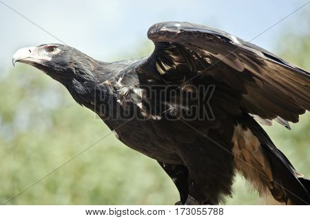 this is a close up of a wedge tailed eagle with it wings spread