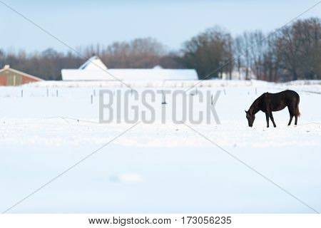 Solitary Horse Standing In Snowy Meadow. Geesteren. Achterhoek. Gelderland. The Netherlands.