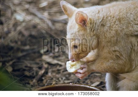 the ring tailed possum is eating a banana